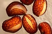 Poppy seeds,light micrograph