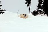 Polar bear den entrance