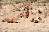 Spotted hyenas at their den