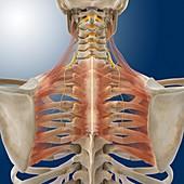 Upper back anatomy,artwork