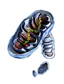 Mitochondrial structure,artwork
