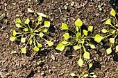 Claytonia seedlings