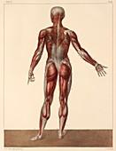 Whole body musculature,1831 artwork