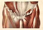 Groin muscles,1831 artwork