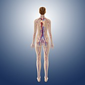 Female cardiovascular system,artwork