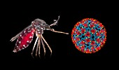 Aedes mosquito and Chikungunya virus