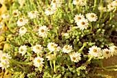 Helichrysum frigidum