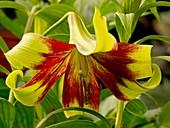 Lily (Lilium 'Nepalense')
