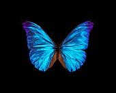 Rhetenor blue morpho butterfly