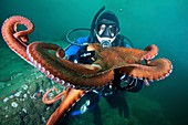 Diver with octopus,Japan Sea