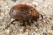 Common pill beetle