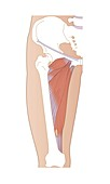 Adductor muscles,artwork