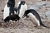 Adelie penguins nesting