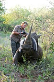 White rhinoceros conservation