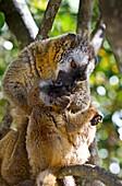 Common brown lemurs