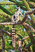 Ring-tailed lemur in a spiny forest tree