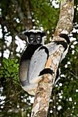 Indri n a tree