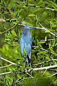 Little blue heron in a tree