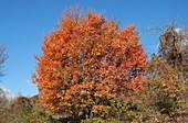 Italian Maple (Acer obtusatum)