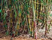 Bamboo (Chusquea culeou)