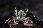 Filter feeding porcelain crab