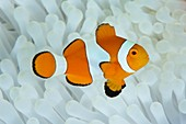 Anemonefish in bleached anemone