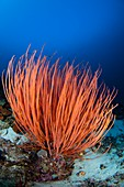 Bright red sea whip in Indonesia