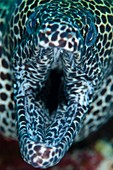 Mouth of honeycomb moray