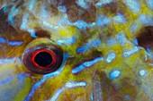 Eye detail of rabbitfish