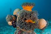 Anemonefish sheltering in anemone