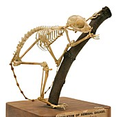 South African galago skeleton