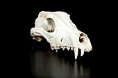 Wild Boar Animal Skull
