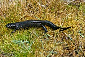 Great crested newt on moss