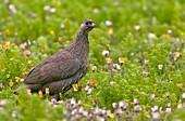 Cape spurfowl in a meadow