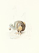Dodo,1848 artwork