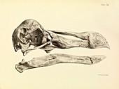 Skull of a dodo,1848 artwork