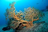 Gerardia anemone colony