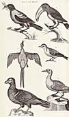 Bird specimens,18th century
