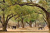 African elephants foraging under trees