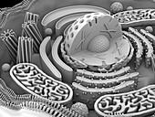 Animal cell organelles,artwork