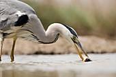 Grey heron catching a fish
