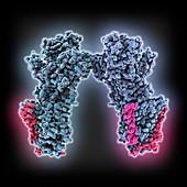 Sodium-potassium ion pump proteins