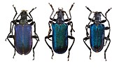 Longhorn beetles