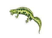 Marbled newt,artwork