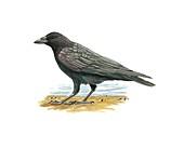 Carrion crow,artwork