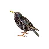 European starling,artwork