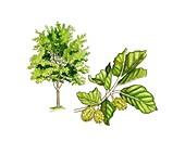 Beech (Fagus sylvatica) tree in flower