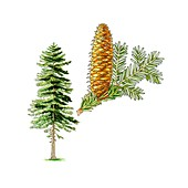 Silver fir (Abies alba) tree,artwork