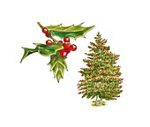 Holly (Ilex aquifolium) tree and berries