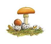 Caesar's mushrooms (Amanita caesarea)